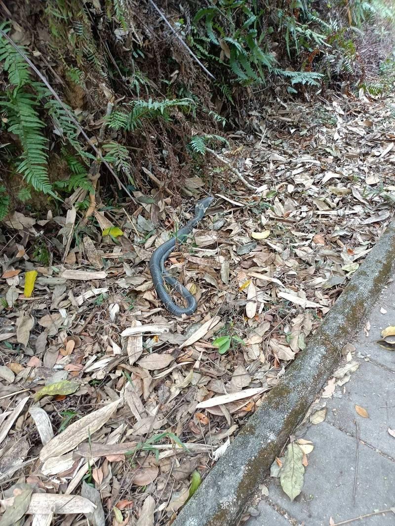 眼鏡蛇常在步道上或是旁邊草叢曬太陽,民眾活動要特別當心。(何姓民眾提供)