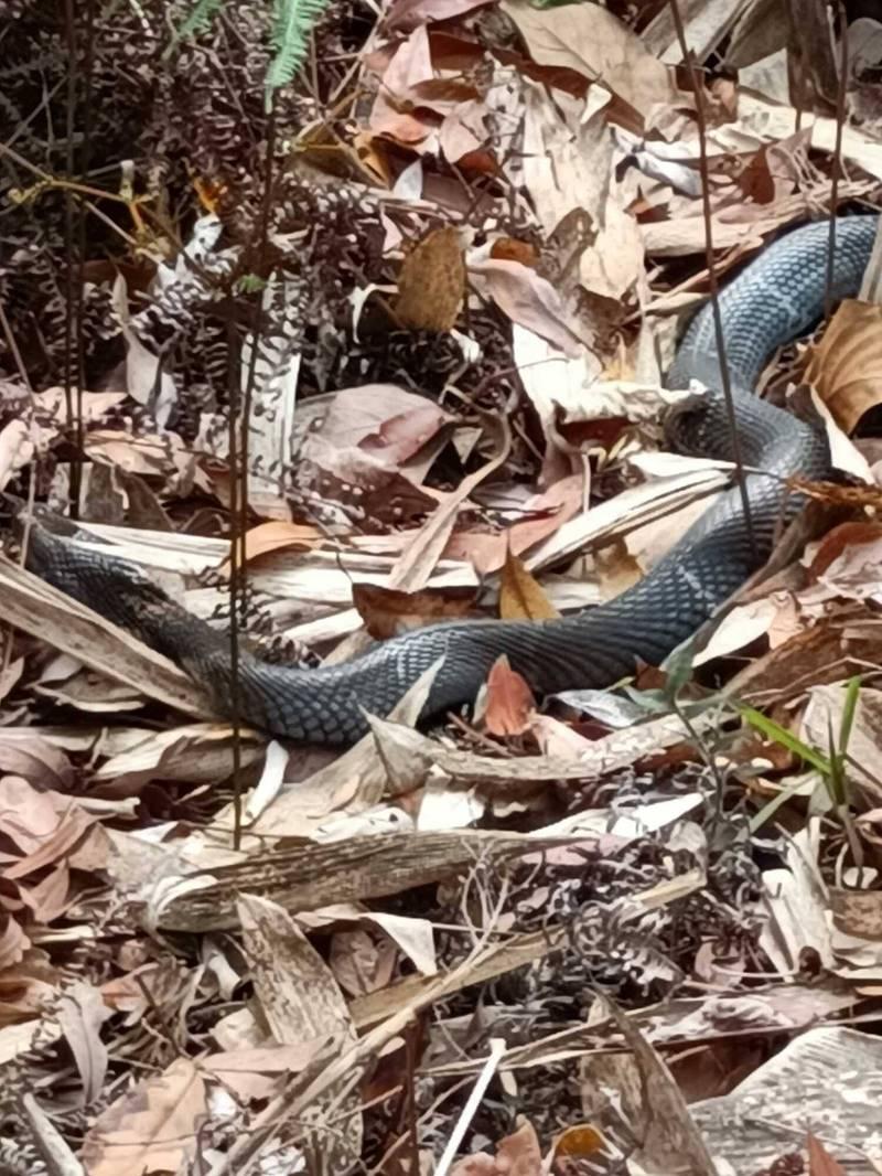 何姓民眾2度遭遇3隻眼鏡蛇,長度都超過1.5公尺,也如成人手臂粗,直呼真的很恐怖。(何姓民眾提供)