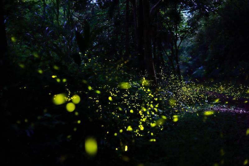 坪林生態資源豐富,夜間山區隨處可見螢火蟲飛舞。(坪林區公所提供)