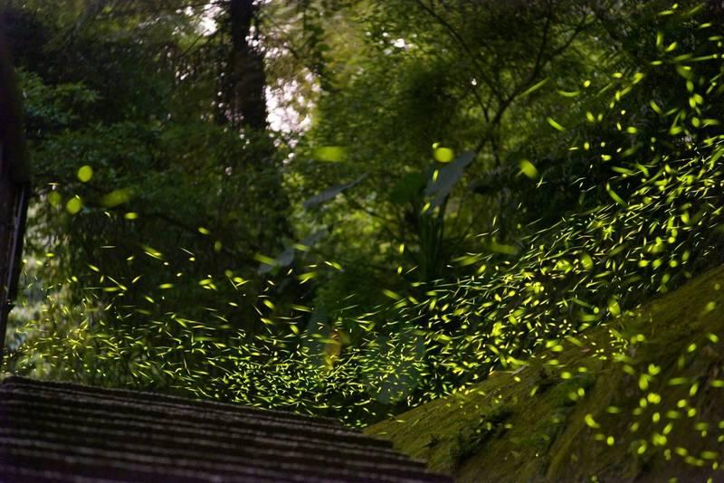 桃園市北橫沿線步道螢火蟲飛舞的盛況。(桃市府風景區管理處提供)