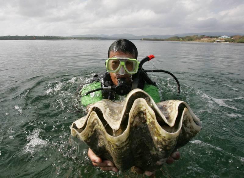 菲律賓破獲約200噸非法捕撈的巨大硨磲貝(又稱巨蚌),估價將近2500萬美元(約新台幣7億元)。菲律賓巨蚌示意圖。(美聯社)