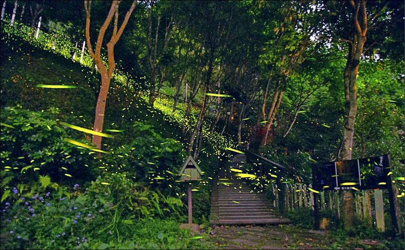 園市大溪百吉隧道往白石山步道的螢火蟲現況。(退休老師張玉玲提供)