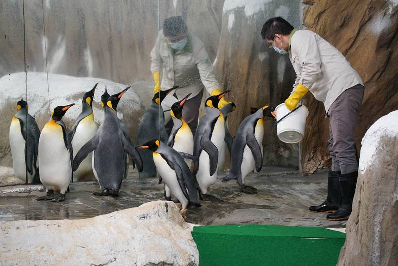 動物園首度引進的國王企鵝,轉眼將在園內度過第21個年頭。(動物園提供)