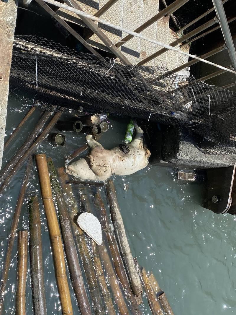 林厝大排水門出現水流豬屍,幸經檢驗各項病毒都呈陰性。(記者林國賢翻攝)