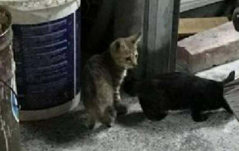 台東知名麵店前年傳虐貓。右邊這隻小黑貓疑似被摔死前幾分鐘,一位民眾看見覺得可愛拍下照片。(資料照)