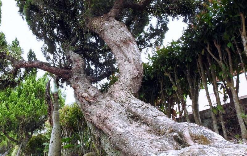 南投縣鹿谷國中龍柏老樹群,有的樹身傾斜且滿佈寄生植物,致生機飽受威脅。(南投縣政府提供)
