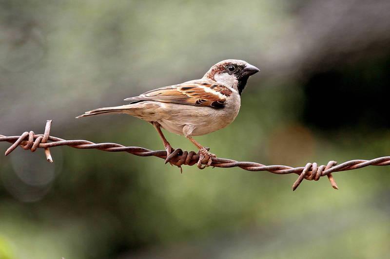 日前澳洲布里斯本港出現一隻台灣常見的「麻雀」,引起當地愛鳥人士周取進入管制區朝聖。示意圖非當事麻雀。(歐新社)