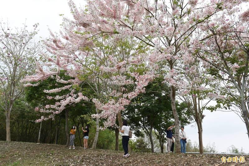 林內鄉減災公園花旗木盛開,粉白浪漫吸引民眾拍照打卡。(記者林國賢攝)