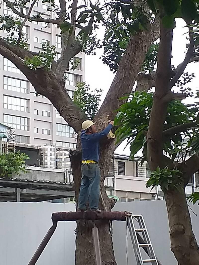 施工建商擅自破壞「烏桕」,大面積樹枝被鋸斷。(居民提供)