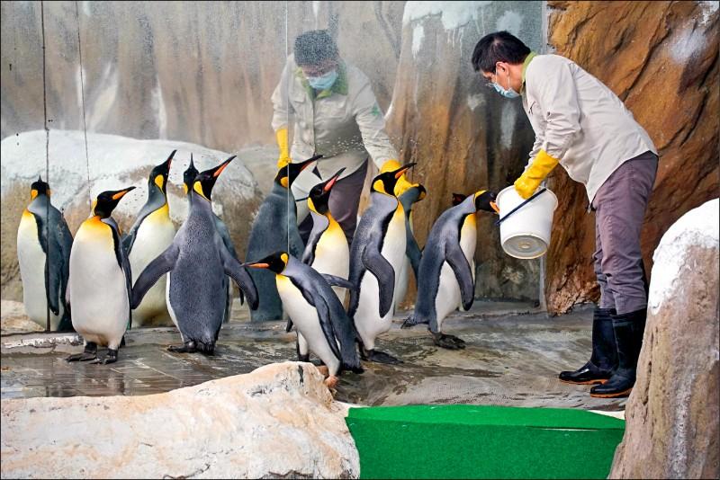 動物園首度引進的國王企鵝,轉眼將在園內度過第21個年頭。(圖:台北市立動物園提供)
