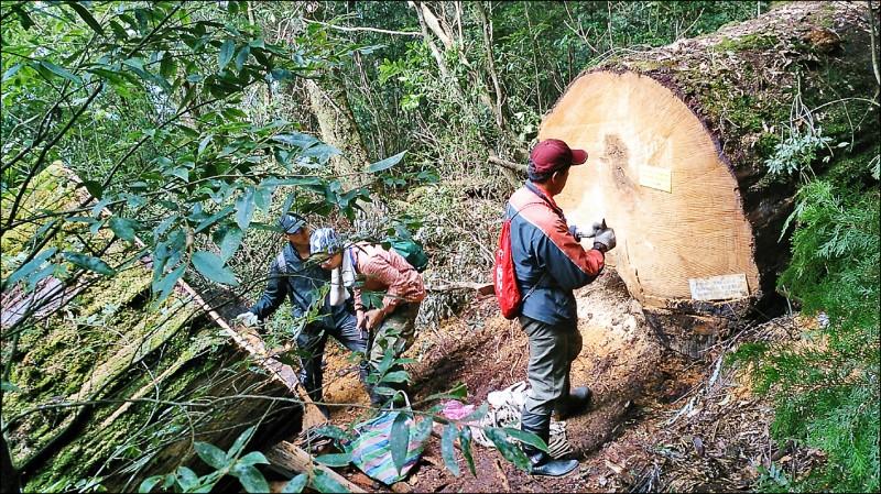 立院三讀通過森林法修正案,提高盜 伐犯罪罰金及刑度。圖為警方在司馬 庫斯勘驗遭盜伐的巨木。 (資料照)