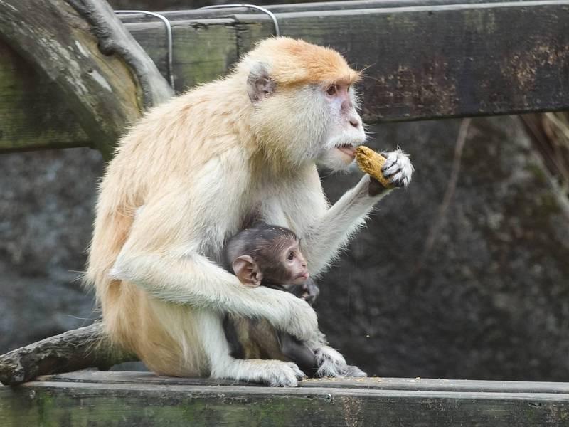 保育員為紅猴「男道」的2兒子取名為「濡牧」。(台北市立動物園提供)