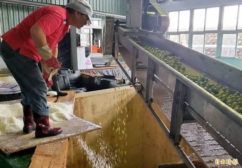 南投縣農會員工一邊篩選青梅、一邊撒鹽釀製。(記者謝介裕攝)