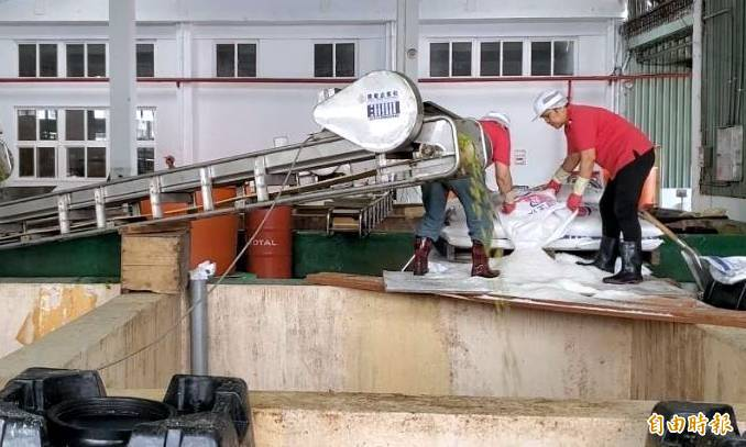 南投縣農會員工收購青梅後備鹽釀製情形。(記者謝介裕攝)