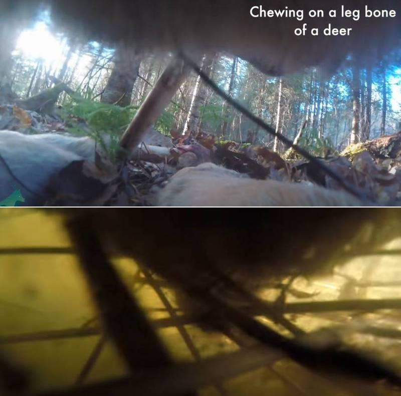 畫面顯示,野狼曾隻身穿越森林,吃了一些漿果,啃食帶肉的鹿骨,並捕捉了3條被困在海狸水壩附近不同種類的魚。(擷取自YT)