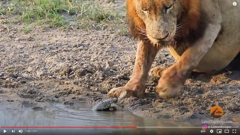 兩頭獅子只是想要好好喝水,小烏龜卻把牠們逼走。(圖翻攝自「Kruger Sightings」YouTube)