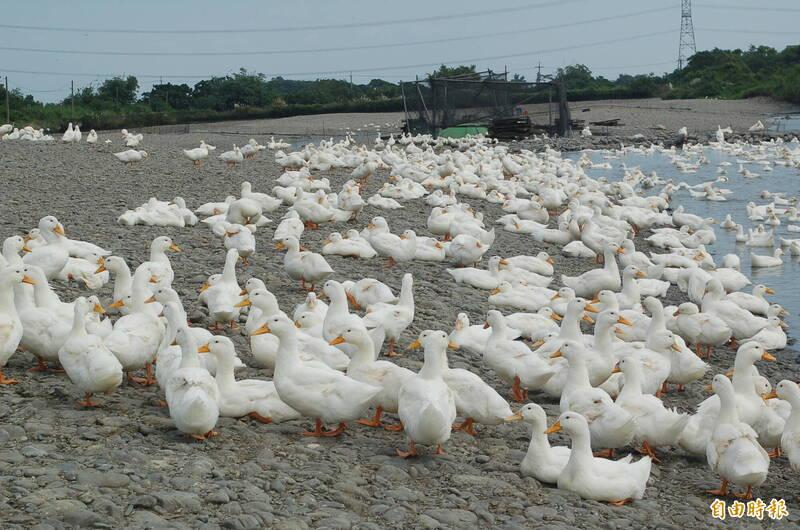 紅柴林地區飼養的櫻桃鴨名聞遐邇。(資料照,記者江志雄攝)