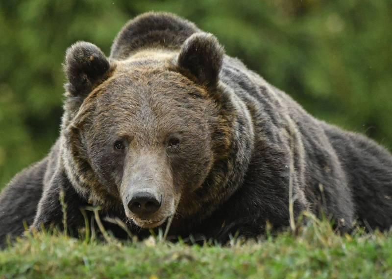 美國男子馬修斯日前到國家公園跑步時,竟遇到一隻飢腸轆轆的黑熊,所幸他最後成功脫險,示意圖。(法新社)