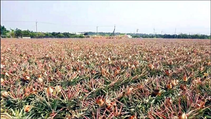 屏縣李姓農民在瑪家鄉美園社區種植的鳳梨,近日傳出上千顆遭竊。(屏縣內埔警分局提供)