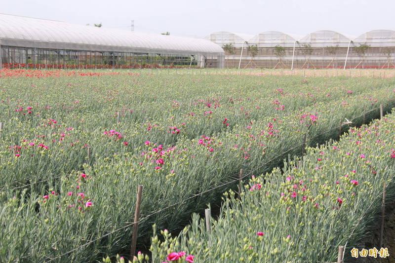 花農說,久不下雨及4月低溫,讓康乃馨花卉成長得比往年還慢,花苞不待放,還矮了5公分。(記者陳冠備攝)