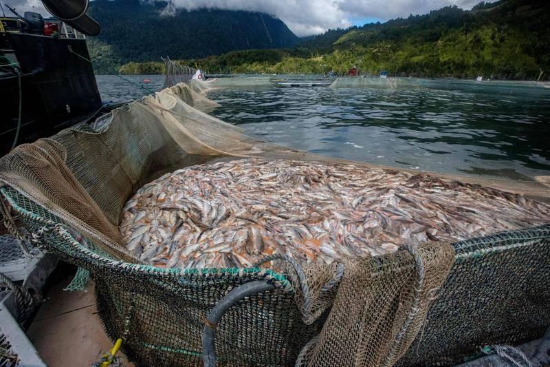 全球第二大鮭魚出口國智利的箱網養殖場爆發嚴重藻華,導致6000多噸鮭魚窒息斃命。(法新社)