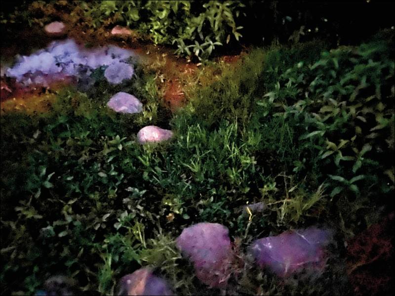 湖山國小經過多年努力成功復育螢火蟲,更首次舉辦賞螢活動。(湖山國小提供)