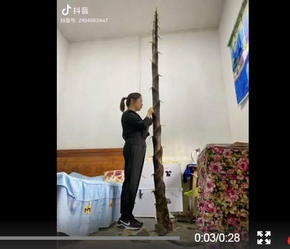 中國湖南1國小宿舍水泥地板上長出竹筍。(圖擷取微博畫面)