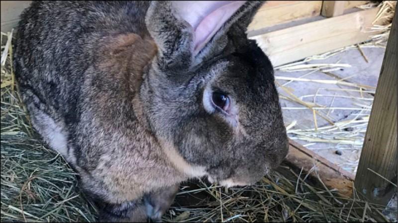 英國巨兔「大流士」(Darius)日前失蹤。(美聯社)