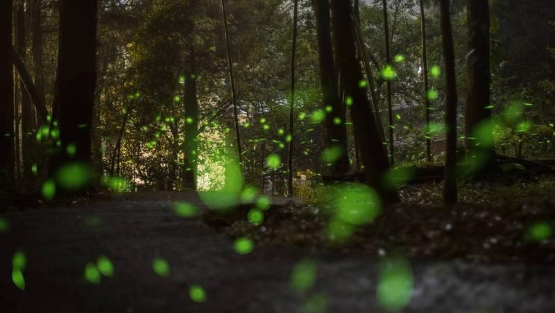 南投縣鹿谷鄉小半天休閒農業區最近入夜後,經常可見螢火蟲翩翩飛舞的身影,美不勝收。(記者謝介裕翻攝)