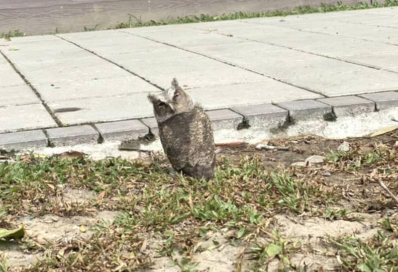 小領角鴞掉落地面,還打瞌睡,模樣可愛。(水道博物館提供)