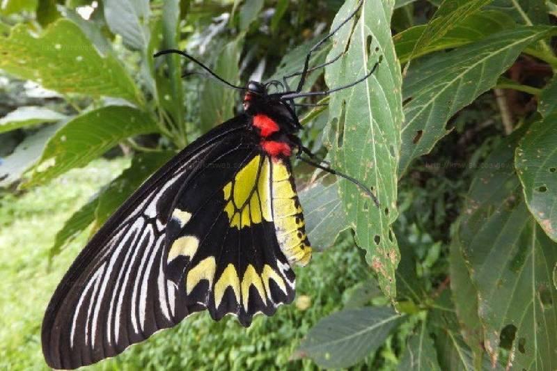 蘭嶼特有種珠光鳳蝶被農委會列為第1級保育物種。(圖取自農委會農業知識入口網蝴蝶圖鑑)