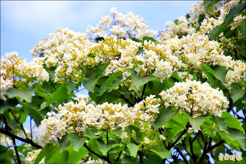 枝頭上的「五月雪」正在怒放,新竹縣今年的首場桐花祭活動就將在本週六登場。(記者黃美珠攝)