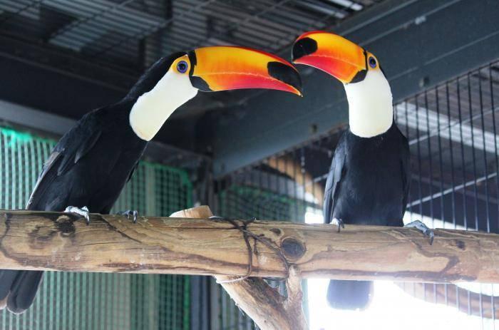 日本札幌市自円山動物園,8年來都讓一對雌雄托哥巨嘴鳥配對在一起,孰料鳥兒產下的蛋全都未受精,近日藉由DNA檢查才發現2隻都是母的。(圖擷自円山動物園官網)