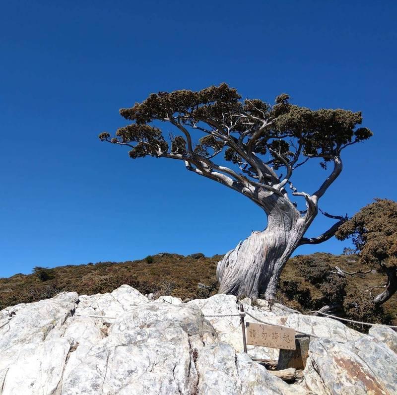 植物專家好奇驗明正身,「向陽名樹」玉山圓柏是不折不扣的女兒身,非千歲爺爺。(取自臉書)