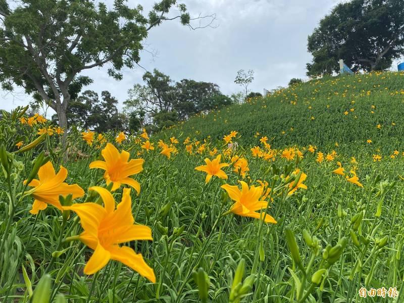今年彰化花壇虎山巖金針花已開2、3成,預估母親節將會爆量盛開。(記者劉曉欣攝)