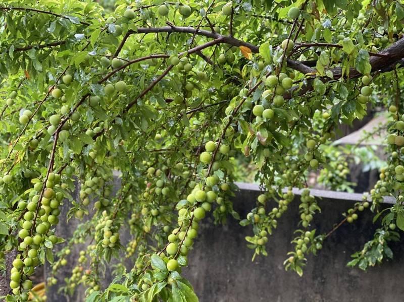 今年的彰化花壇虎山巖李花盛開,連李子都產量爆天量,形成難得一見的李子隧道。(記者劉曉欣翻攝)