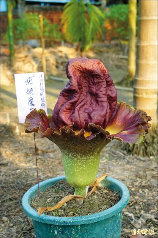 「疣柄魔芋」開花時花徑逾30公分、花高逾50公分。(記者陳彥廷攝)