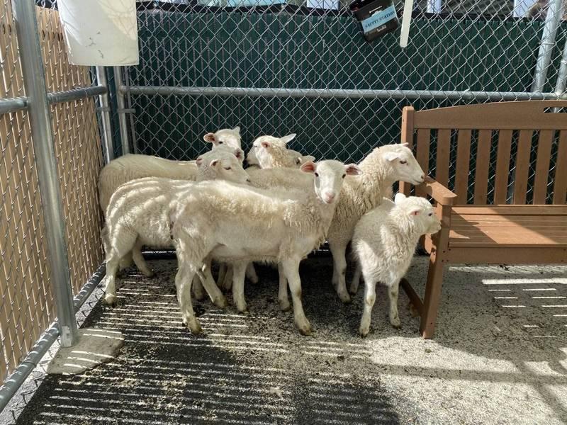 紐約動物保護中心在經過初步護理後,會再將小羊送到紐澤西州的動物庇護所。(圖擷自Animal Care Centers推特)