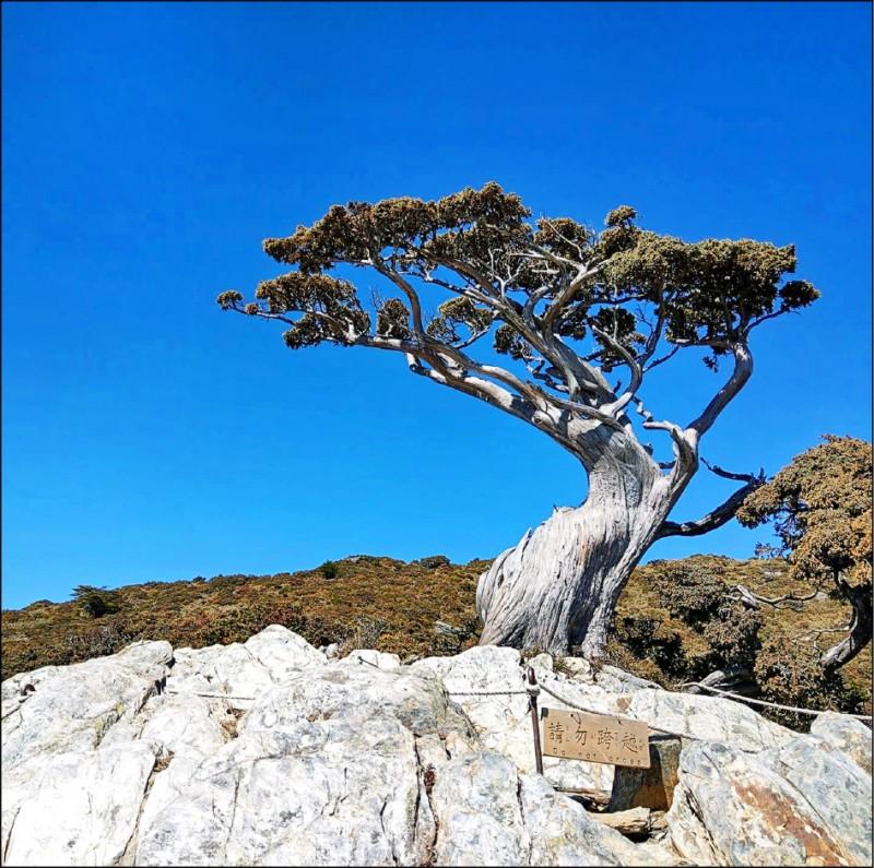 南橫「向陽名樹」玉山圓柏(Juniperusmorrisonicola)7年前因斷枝樹形起了變化,原本像是盤坐在礁岩上氣定神閒的老翁,突然搖身一變成了風姿綽約的美魔女,引起植物專家的好奇,驗明證身探究竟,答案揭曉,這株樹齡數百年的玉山圓柏是奶奶不是爺爺;台東林管處副處長董世良表示,玉山圓柏原本是雌雄異株,也有少部分雌雄同株,向陽名樹胸徑約40公分,依1公分要長22.4年推彪,樹齡約7、800年。(圖︰取自臉書,文︰記者陳賢義)