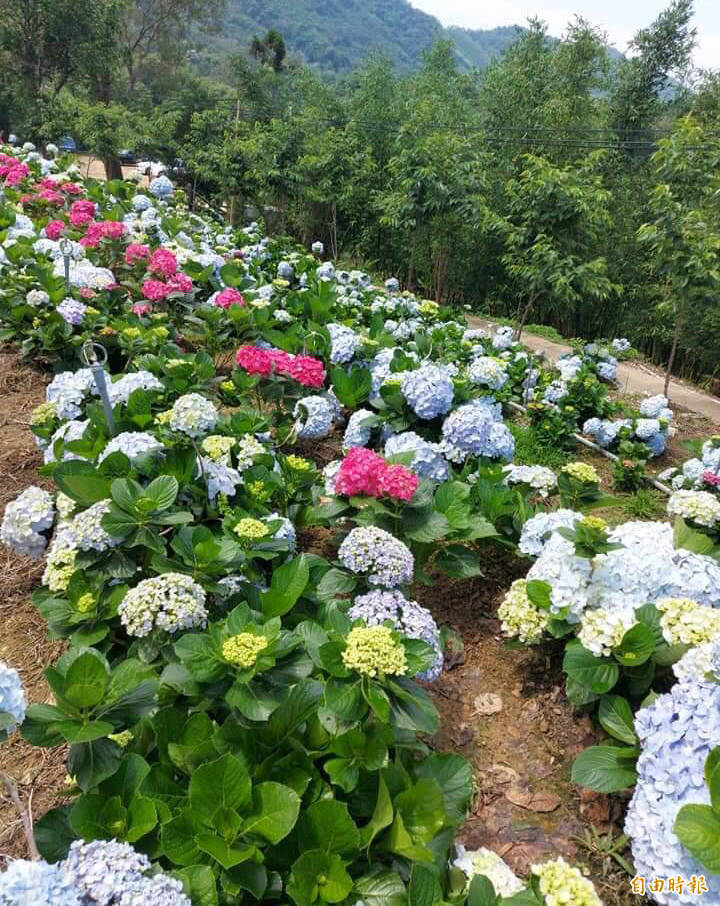 桃園市政府推出首屆繡球花季活動,圖為陽光休閒農莊的花況。(記者李容萍攝)