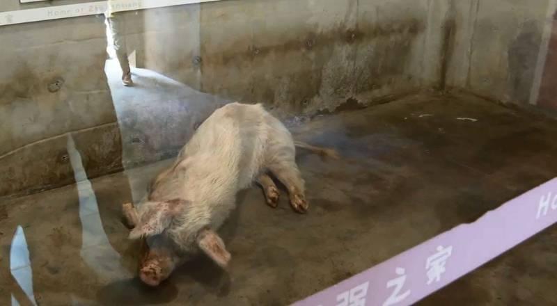 換算人類年齡已有百歲的豬堅強有氣無力,身形瘦削。(圖翻攝自建川博物館聚落_微博)