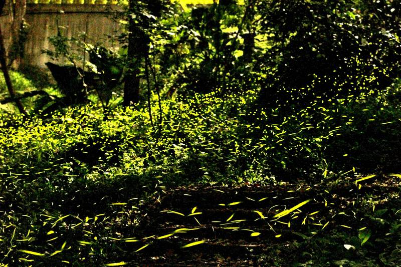 古坑華山雨後喚醒螢火蟲,「火金姑」星夜浪漫放閃。(記者詹士弘翻攝)