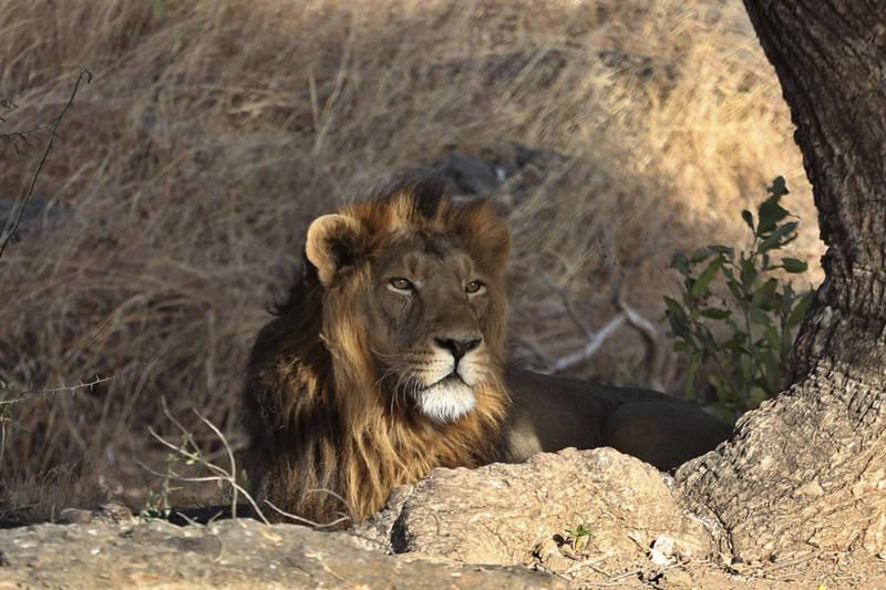 印度海德拉巴市尼赫魯動物園有8頭獅子確診,這可能是印度首次發現有人類傳染給獅子的病例。(示意圖,非當事獅子,美聯社)