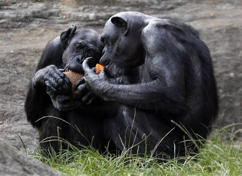 最新一份研究顯示,動物界許多物種不僅不刻意避免近親交配,甚至偏好這類生殖模式,其中又以靈長類與齧齒類動物尤為明顯。(路透)
