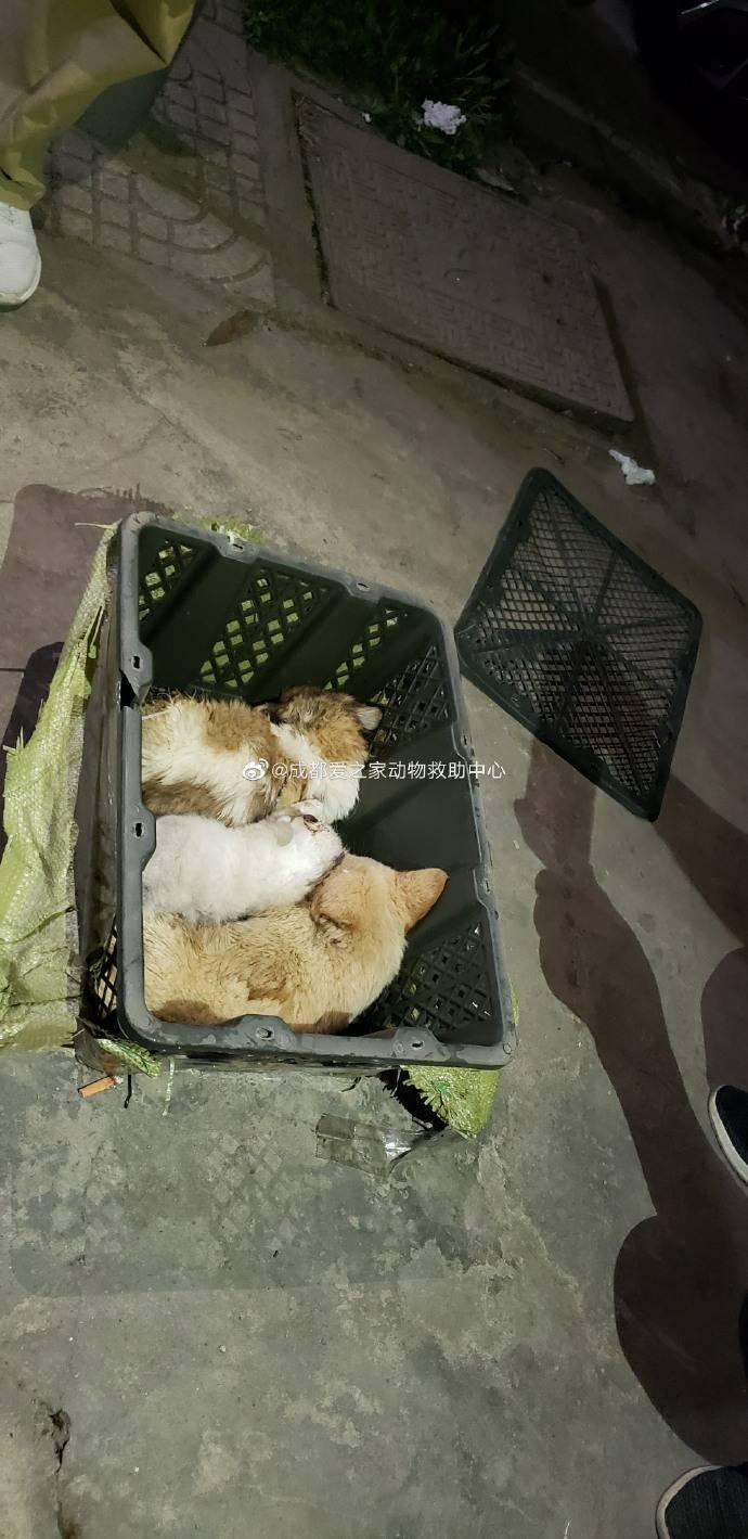 中國四川動保團體進行救援,發現有箱子同時裝了3隻小狗,趕緊放出來透氣。(圖擷取自微博)