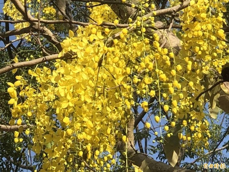 成串金黃色的阿勃勒開花相當漂亮(記者葉永騫攝)