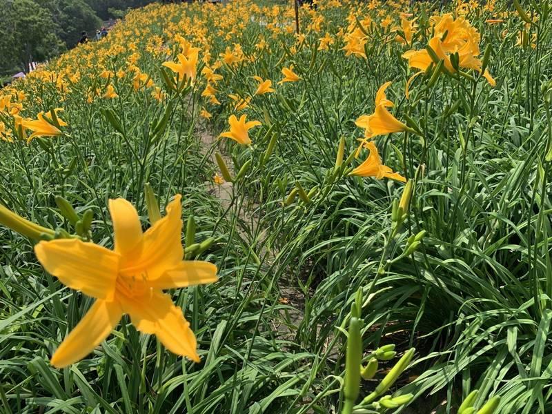 花壇鄉虎山巖金針花大爆發,滿山金黃色花海,本週日母親節當天將達到最高峰。 (記者湯世名翻攝)