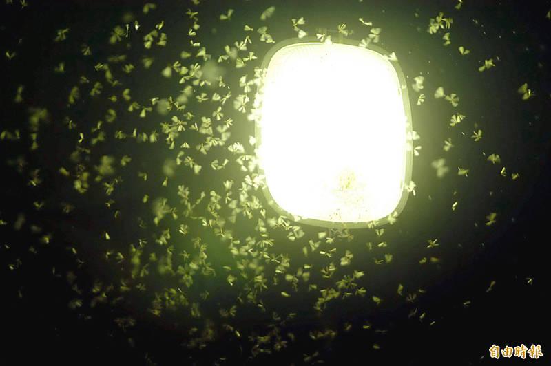台灣民間視「大水蟻狂飛」為下大雨前兆,中央氣象局長鄭明典6日晚間在臉書表示,收到各地網友回報有許多大水蟻出現。(資料照)