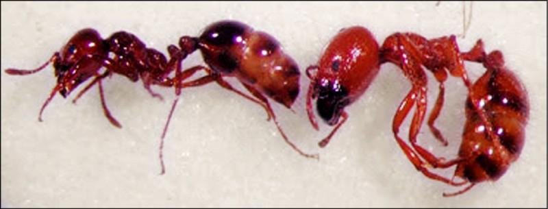 入侵紅火蟻(左)與熱帶火蟻(右)體型雖相當,但有許多不同的地方。(國家紅火蟻防治中心提供)
