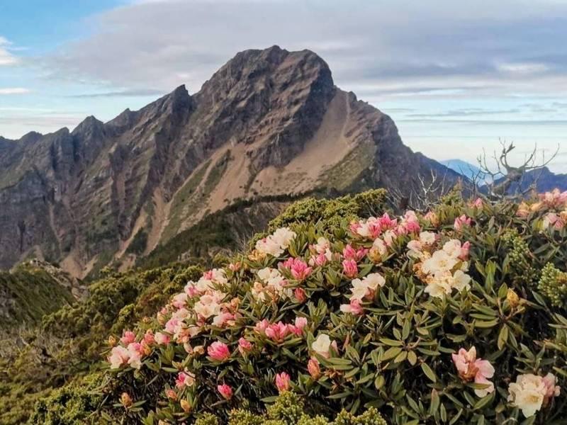 玉山國家公園北峰山坳的玉山杜鵑已開出花朵,搭配遠處的主峰壯闊山景,景象相當美麗。(莊凱智攝,玉管處提供)